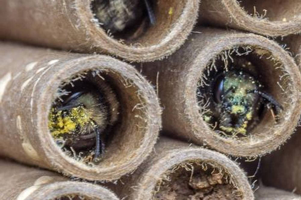 Mason Bees cocoons