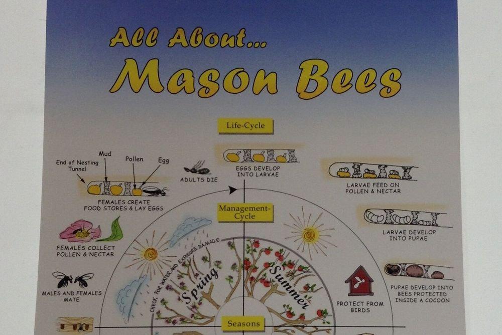 Mason Bee - Life Cycle Poster
